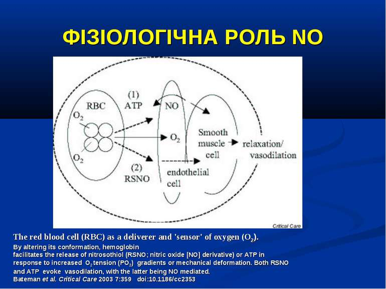 ФІЗІОЛОГІЧНА РОЛЬ NO The red blood cell (RBC) as a deliverer and 'sensor' of ...