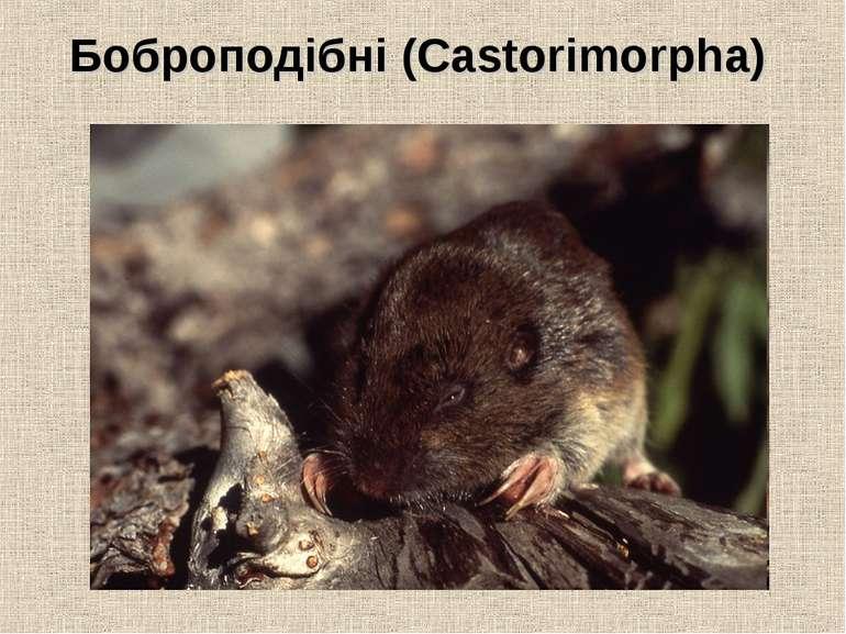 Боброподібні (Castorimorpha)