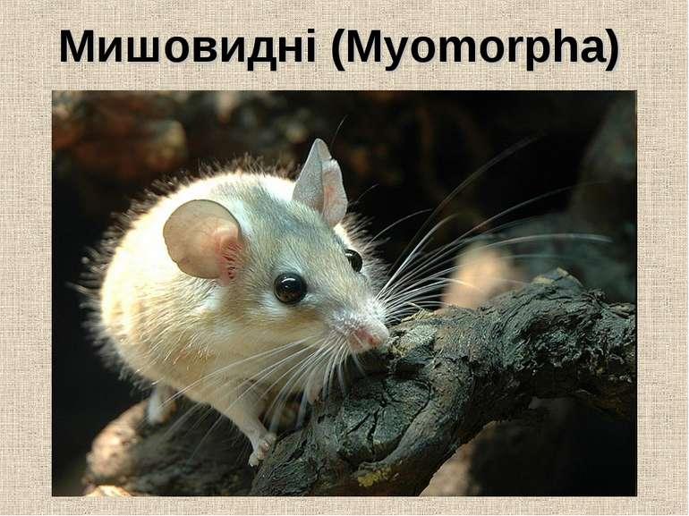 Мишовидні (Myomorpha)