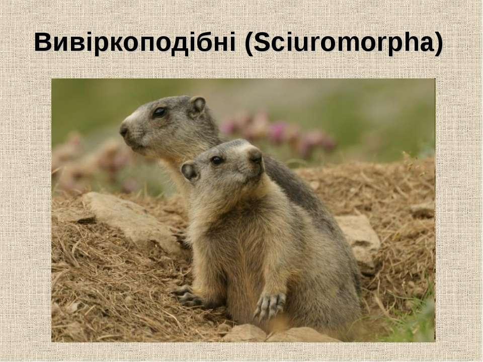 Вивіркоподібні (Sciuromorpha)