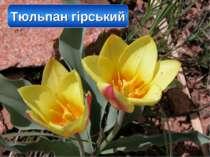 Тюльпан гірський