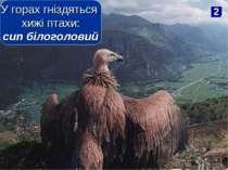 2 У горах гніздяться хижі птахи: сип білоголовий
