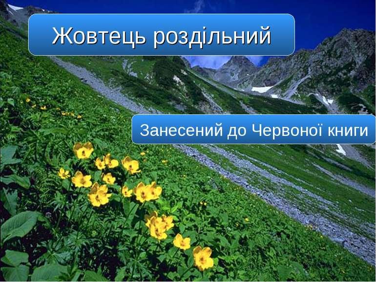 Жовтець роздільний Занесений до Червоної книги