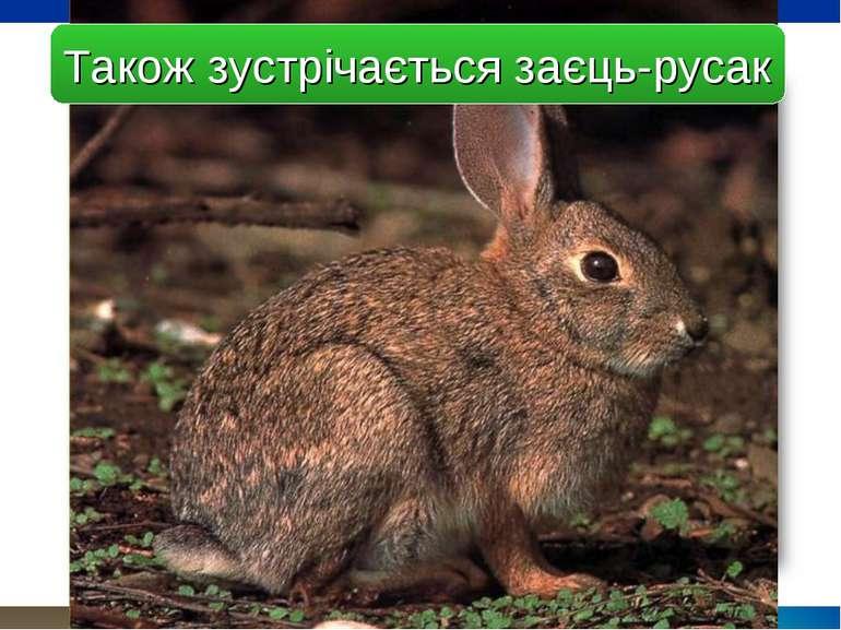 Також зустрічається заєць-русак