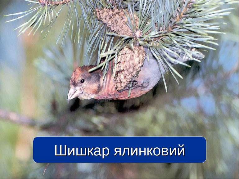 Шишкар ялинковий