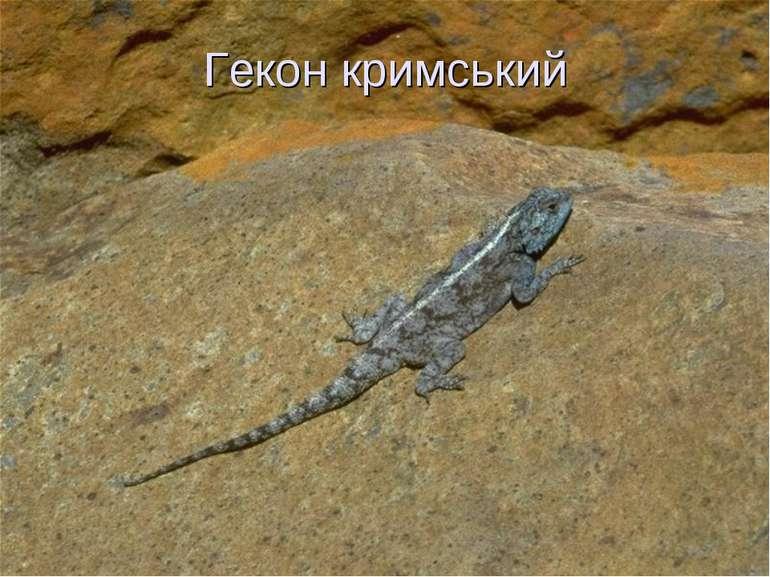 Гекон кримський