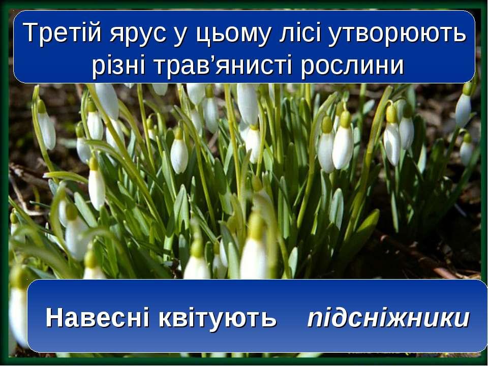 Третій ярус у цьому лісі утворюють різні трав'янисті рослини Навесні квітують...