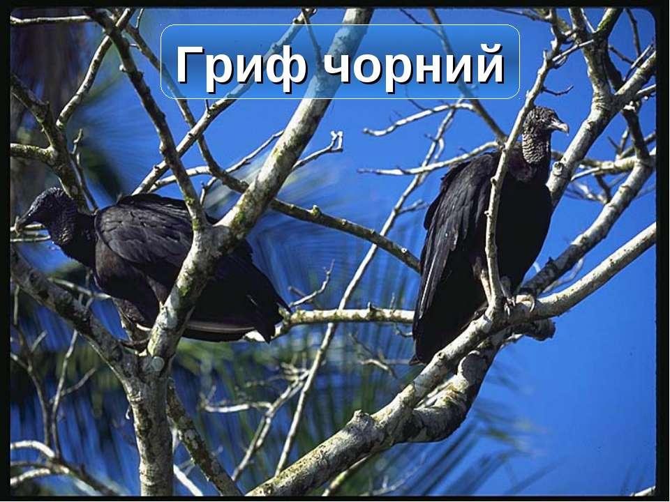 Гриф чорний