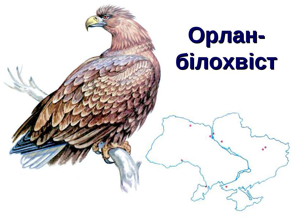 Орлан-білохвіст
