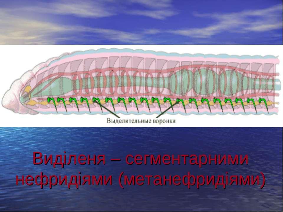 Виділеня – сегментарними нефридіями (метанефридіями) .