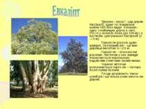 """""""Дерево - насос"""", цар дерев Австралії, адже тут поширено майже 600 його видів..."""