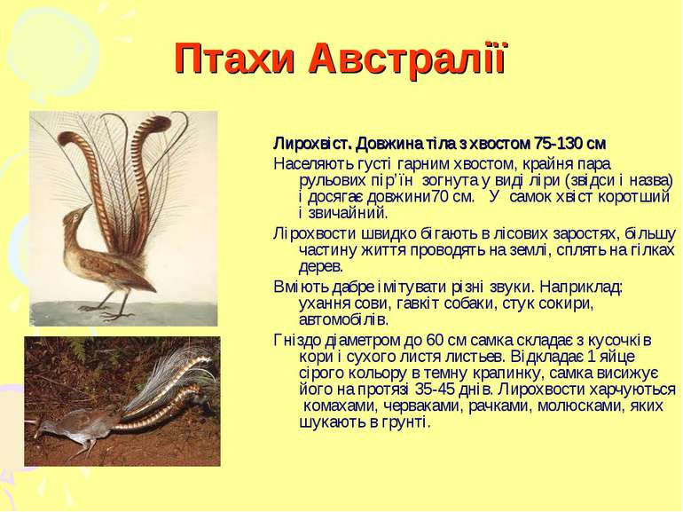 Птахи Австралії Лирохвіст. Довжина тіла з хвостом 75-130 см Населяють густі г...