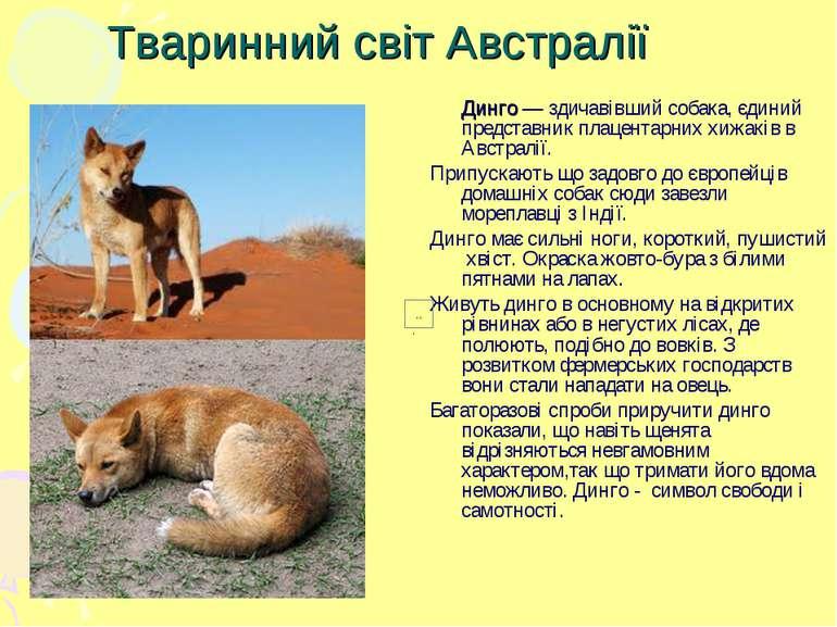 Тваринний світ Австралії Динго — здичавівший собака, єдиний представник плаце...
