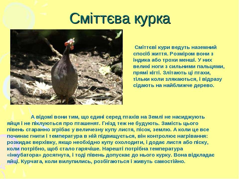 Сміттєва курка Сміттєві кури ведуть наземний спосіб життя. Розміром вони з ін...