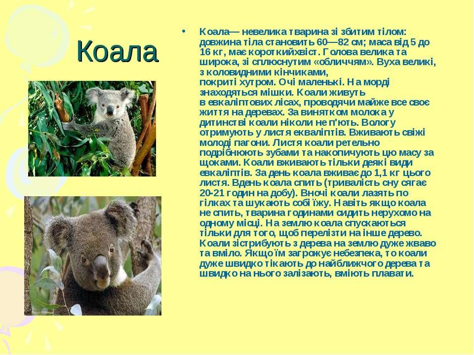 Коала Коала— невеликатвариназі збитим тілом: довжина тіла становить 60—82с...