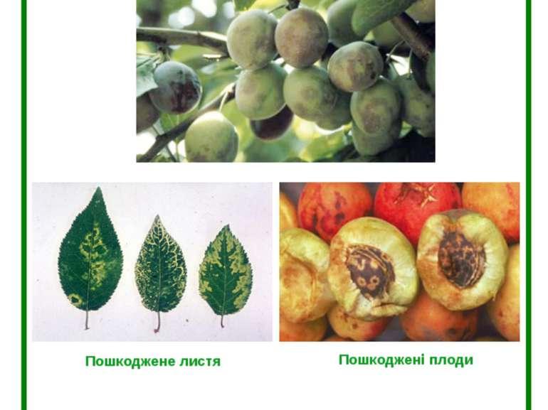 Шарка (віспа) слив (Plum pox potyvirus) Пошкоджені плоди Пошкоджене листя