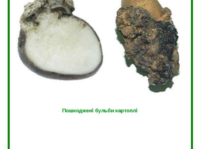 Рак картоплі (Synchytrium endobioticum Perc.) Пошкоджені бульби картоплі