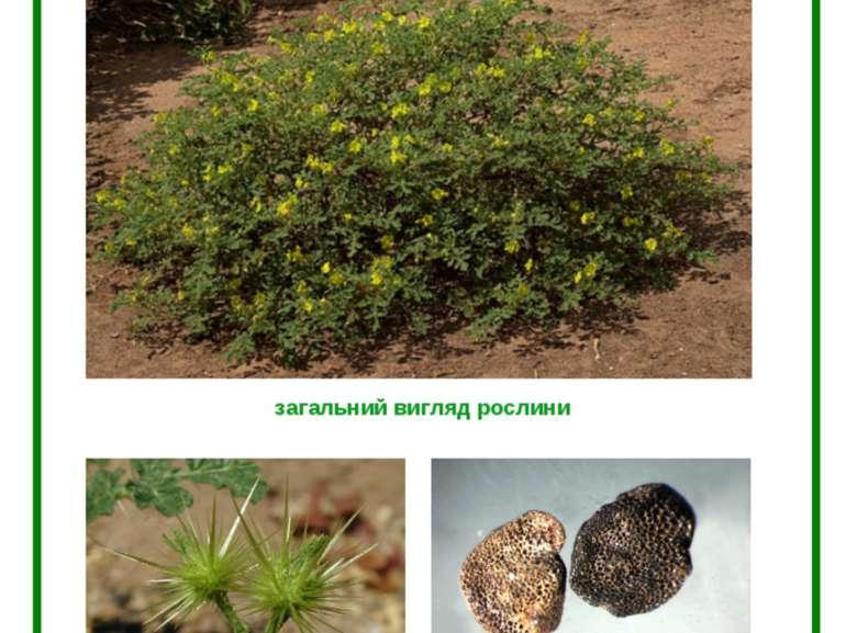 ПАСЛЬОН КОЛЮЧИЙ (Solanum rostratum Dun.) загальний вигляд рослини плід насіння