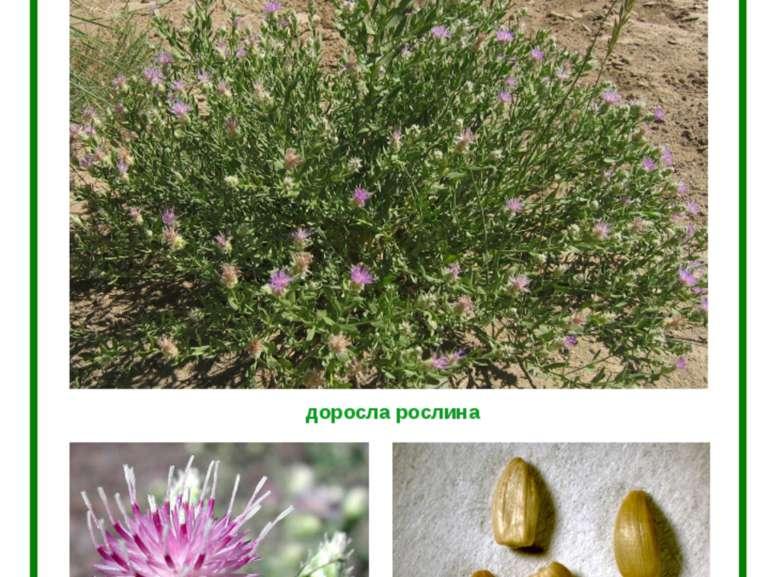 ГІРЧАК ПОВЗУЧИЙ (РОЖЕВИЙ) доросла рослина квітка насіння