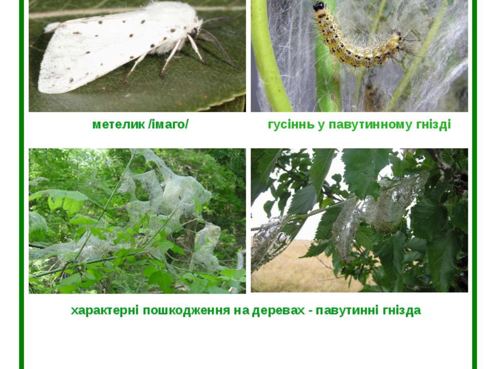 Американський білий метелик (Hyphantria cunea Drury) метелик /імаго/ гусіннь ...