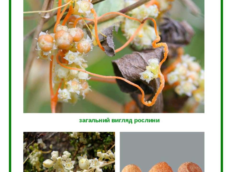 ПОВИТИЦЯ ПОЛЬОВА (Сuscuta campestris Junck.) загальний вигляд рослини квіти н...