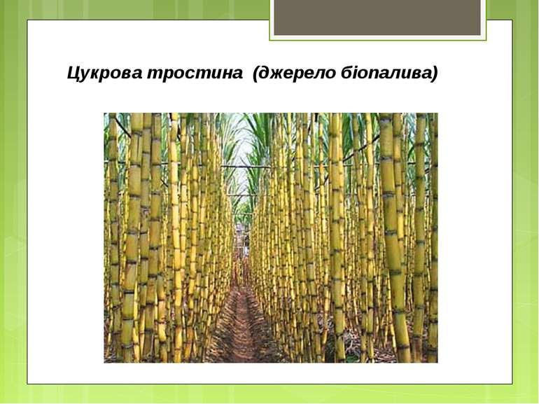 Цукрова тростина (джерело біопалива)