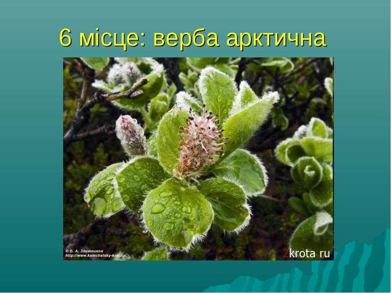 6 місце: верба арктична найпівнічніше дерево (кущі) у світі, його гілки можут...