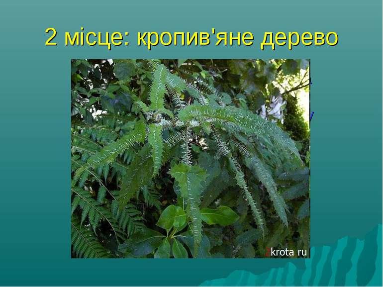 2 місце: кропив'яне дерево найнебезпечніша жаляча рослина - Новозеландське кр...