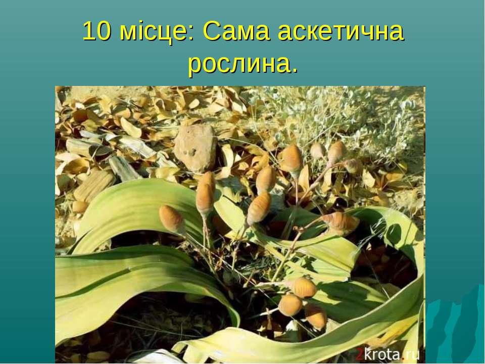 10 місце: Сама аскетична рослина. Вельвичия - росте на півдні Африки, в пусте...
