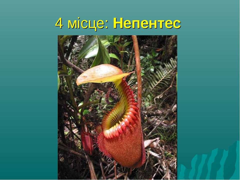 4 місце: Непентес найбільша хижа рослина, здатна переварювати найбільшу здоби...