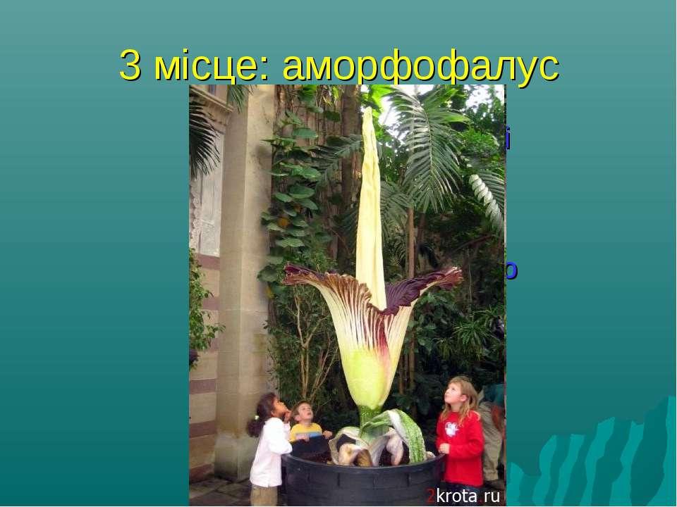 3 місце: аморфофалус Сама смердюча у світі рослина - аморфофалус. Він росте в...