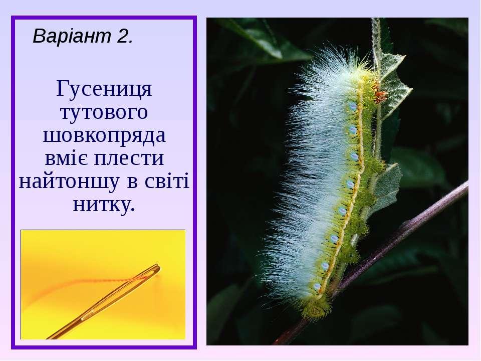 Гусениця тутового шовкопряда вміє плести найтоншу в світі нитку. Варіант 2.