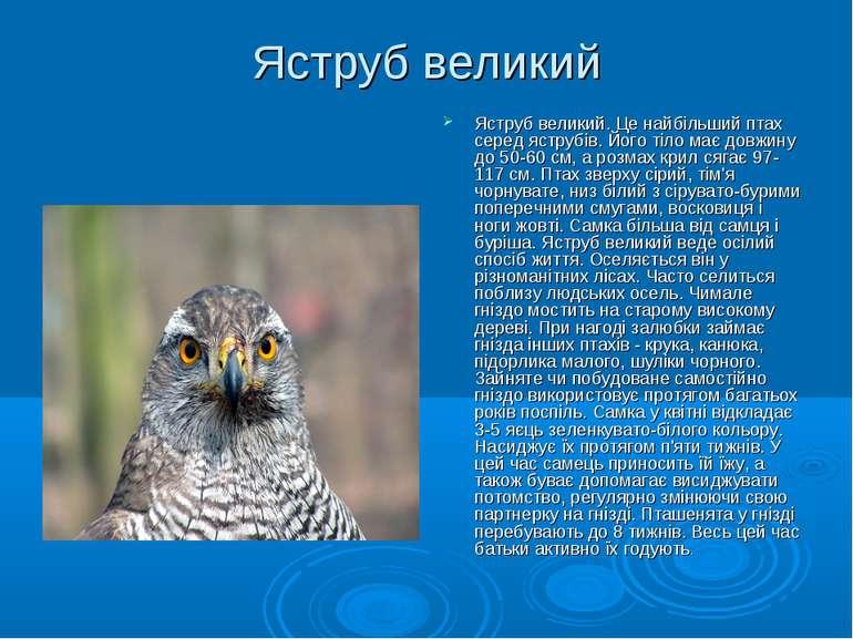 Яструб великий Яструб великий. Це найбільший птах серед яструбів. Його тіло м...