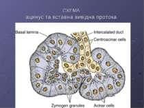 СХЕМА ацинус та вставна вивідна протока