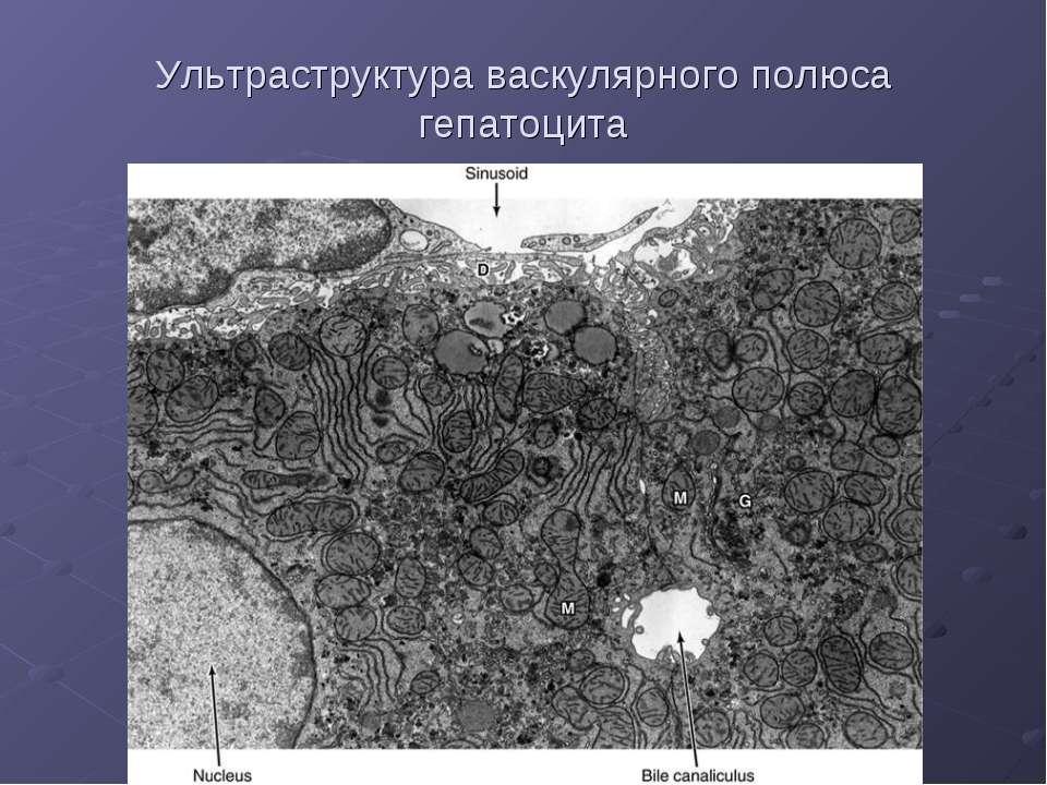 Ультраструктура васкулярного полюса гепатоцита
