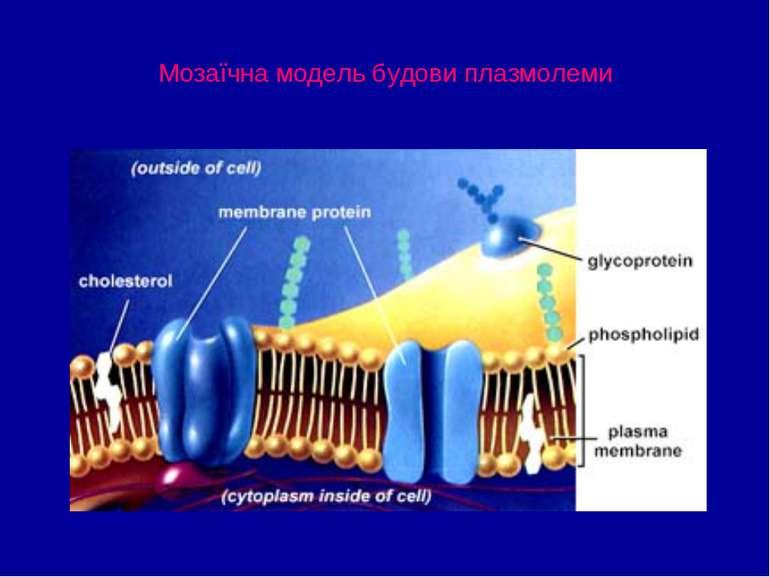 Мозаїчна модель будови плазмолеми