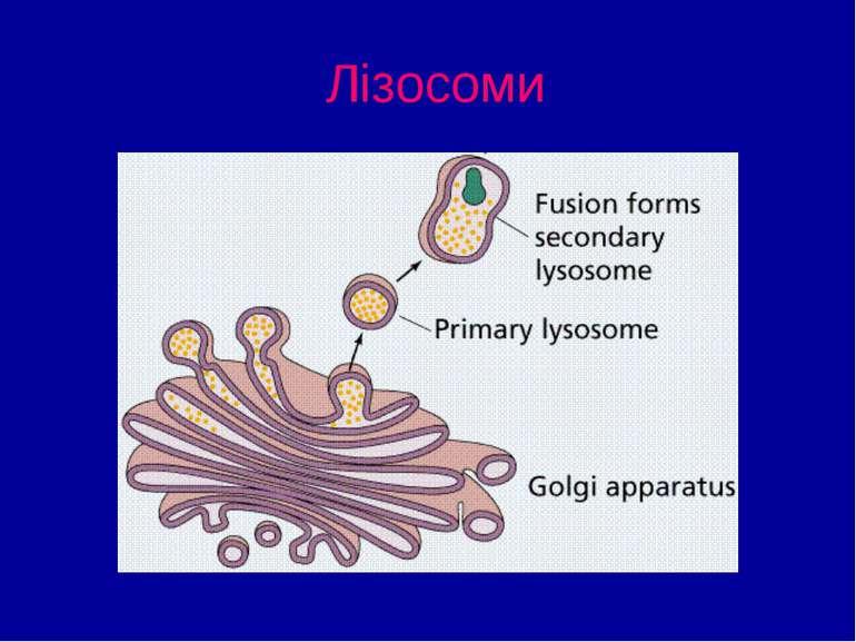 Лізосоми