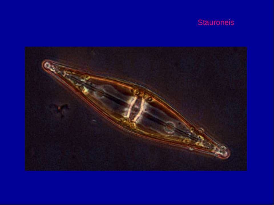 Stauroneis