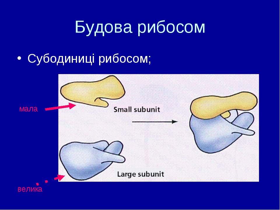 Будова рибосом Субодиниці рибосом; мала велика